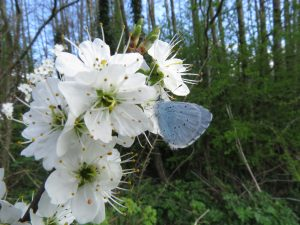 This Holly Blue butterfly was nectaring on an unflailed farm hedgerow